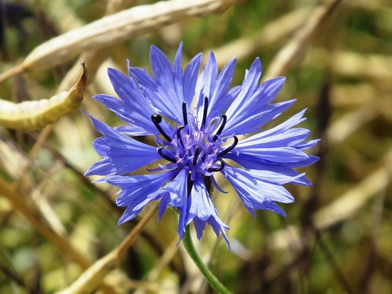 Colorful Annual Flowers Cornflower Bachelors Buttons