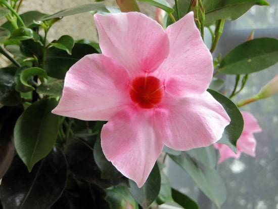 Colorful Annual Flowers Mandevilla