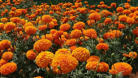 Colorful Annual Flowers Marigold