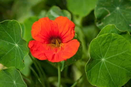 Colorful Annual Flowers Nasturtium