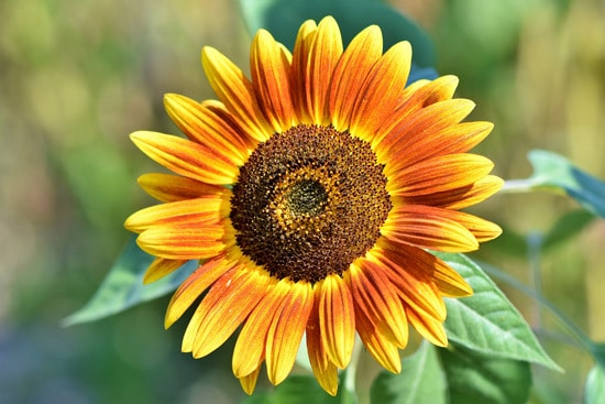 Colorful Annual Flowers Sunflower