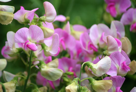 Colorful Annual Flowers Sweet Pea
