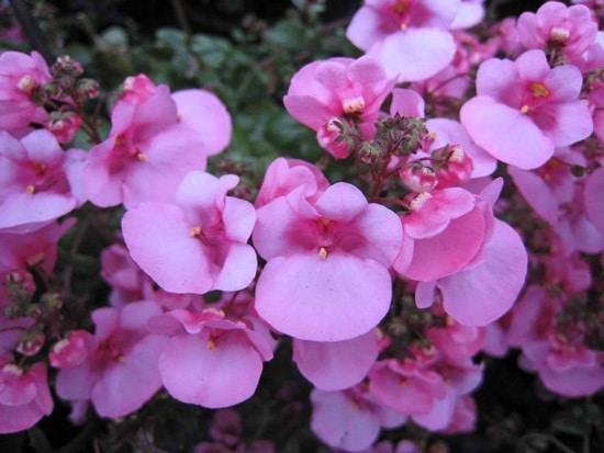 Colorful Annual Flowers Twinspur Diascia