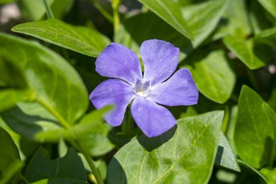 Colorful Annual Flowers Vinca