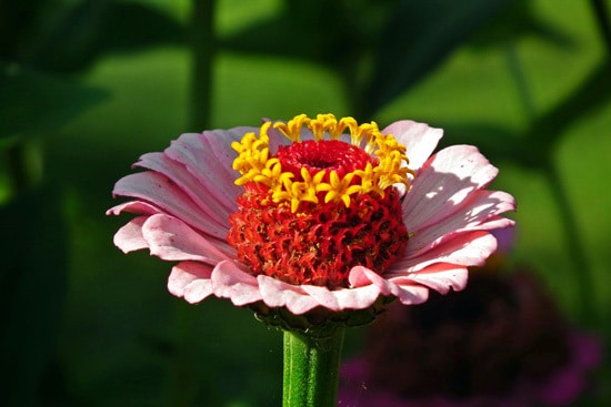 Colorful Annual Flowers Zinnia