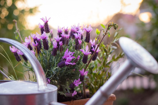 Easy To Grow Perennial Flowers Lavender