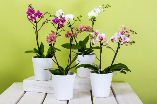 How Long Do Orchids Live Growing orchids indoors
