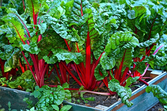 Frost Tolerant Vegetable Plants Swiss Chard2