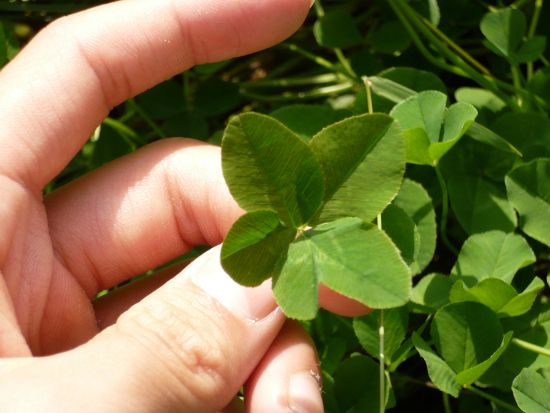 What Kills Clover But Not Grass Remove It Manually 1