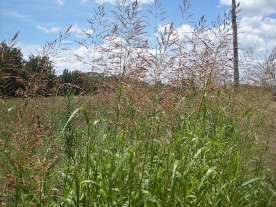 How To Get Rid Of Johnson Grass