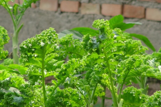 Rapini What Is the Healthiest Vegetable