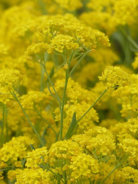 Basket of Gold Yellow Perennials