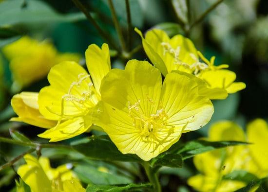 Evening Primrose Yellow Perennials