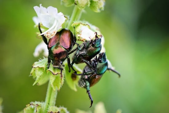 How To Get Rid Of June Bugs That Invade Your Garden