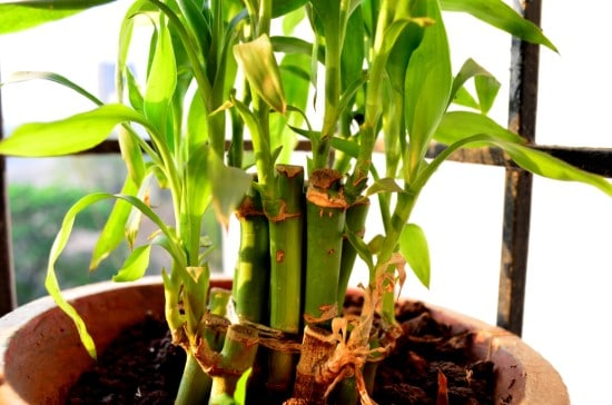 How To Propagate Bamboo And Care For It