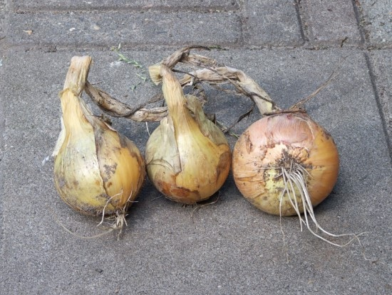 Centurion onion How To Grow Onions From An Onion