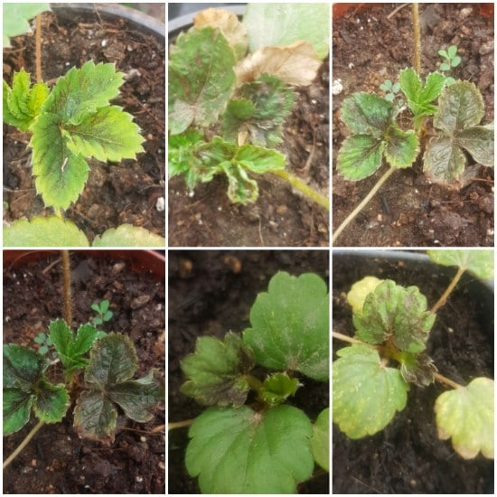 Diseases Why Are My Strawberries So Small In The Home Garden