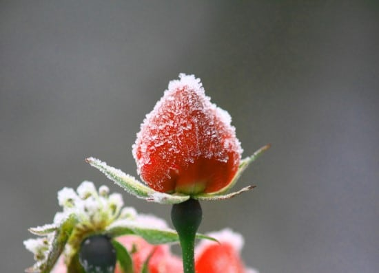 Frozen in winter Why Are My Strawberries So Small In The Home Garden