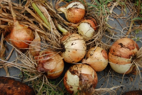 Golden seed onion How To Grow Onions From An Onion