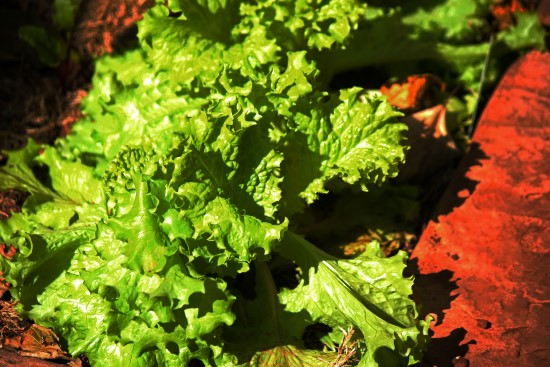 How Much Sun Does Lettuce Need And How To Prevent Excess Sunlight