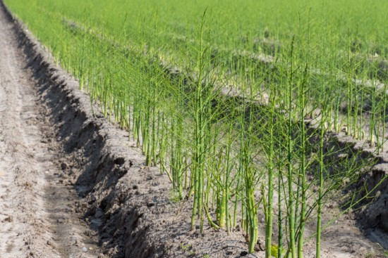 How long does it take to grow asparagus