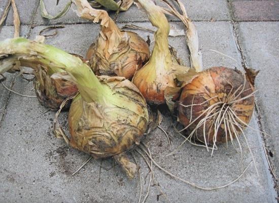 Stuttgarter Riesen onion How To Grow Onions From An Onion