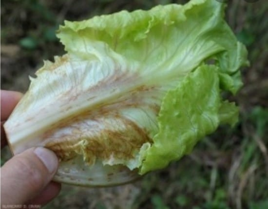 Why Does Lettuce Turn Red