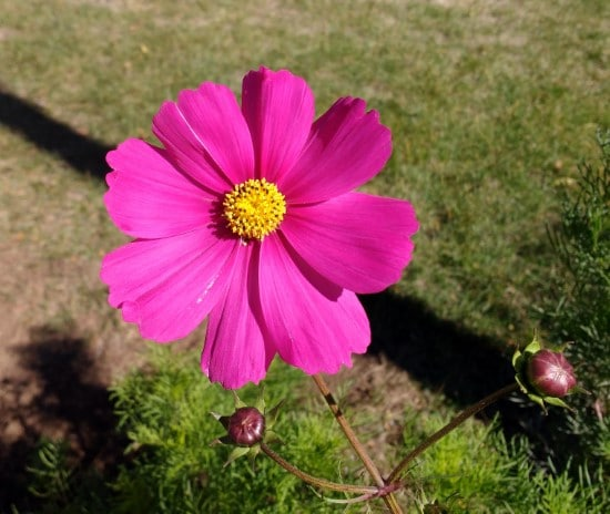 cherry cosmos What Flowers to Give on Your Anniversary