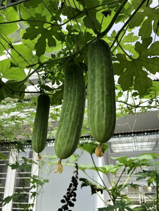 Do Cucumbers Need A Trellis