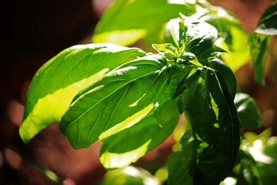 How much sun does basil need 2